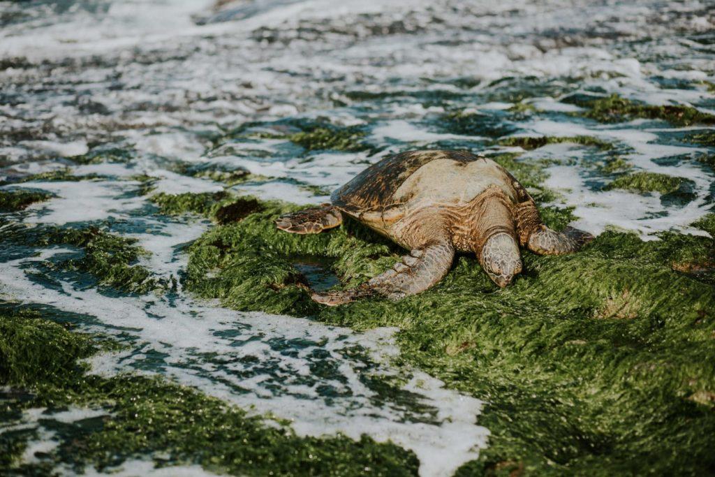 Sea Turtles in Oahu, Hawaii